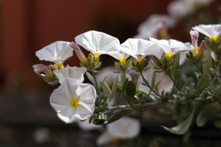 Convolvulus cneorum (Shrubby Bindweed) growing in Monterosso Liguria Italy