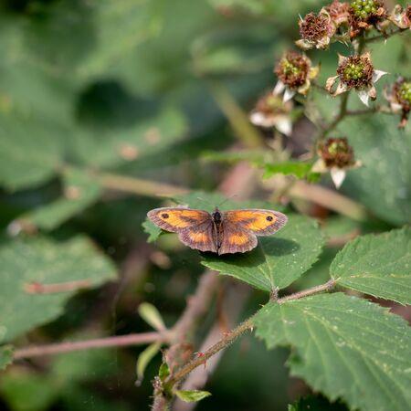 Der Gatekeeper oder Hedge Brown (Pyronia Tithonus) Schmetterling ruht auf einem Blackberry-Blatt