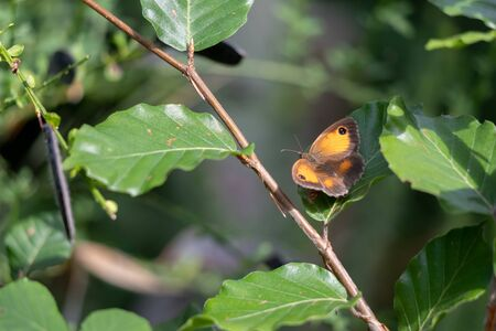 The Gatekeeper or Hedge Brown (Pyronia tithonus) butterfly resting on a leaf