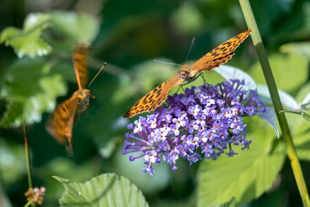 Silver-washed Fritillary (Argynnis paphia) feeding on a Buddleia