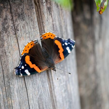 Red Admiral (Vanessa atalanta) resting on a wooden post
