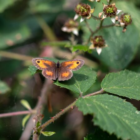 The Gatekeeper or Hedge Brown (Pyronia tithonus) butterfly resting on a Blackberry leaf Zdjęcie Seryjne