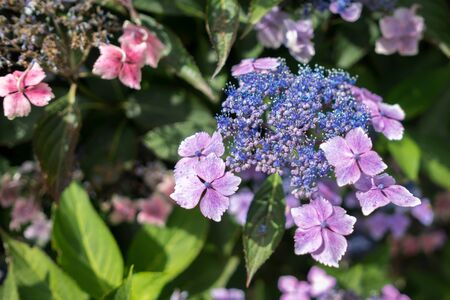 Blue Lacecap Hydrangea just beginning to flower
