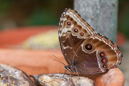 Blue Morpho Butterfly ( Morpho peleides) Feeding on Rotting Fruit