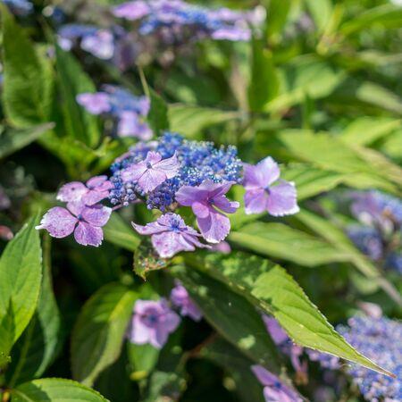 Blue Lacecap Hydrangea just beginning to flower