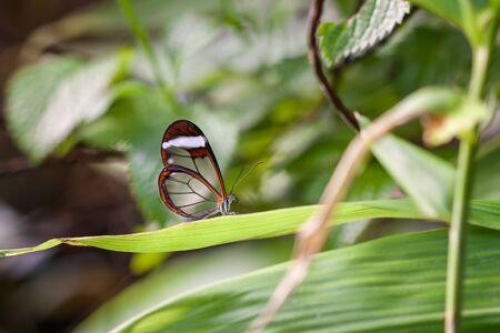 Glasswinged Butterfly (Greta oto) Stockfoto