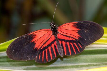 Postman Butterfly (Heliconius melpomene au repos