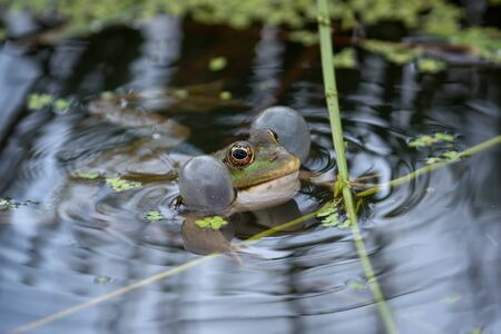 Marsh Frog resting in a pond