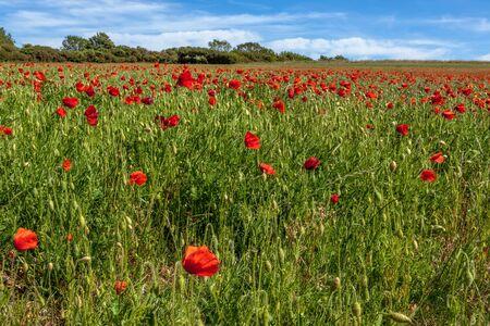 Field of wind blown Poppies in Sussex Foto de archivo