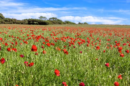 Field of wind blown Poppies in Sussex Stock Photo