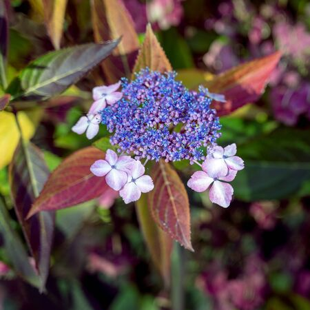 Blue Lacecap Hydrangea still flowering in November 免版税图像