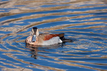Ringed Teal (Callonetta leucophrys) floating on a sunlit lake Stock Photo