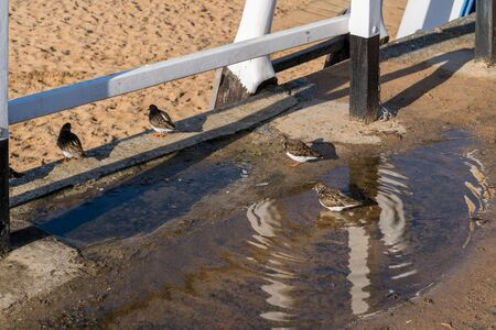 Ruddy Turnstones (Arenaria interpres) bathing in a puddle in Broadstairs Kent