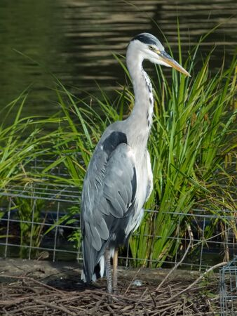 Grey Heron standing on its nest by the lake Archivio Fotografico