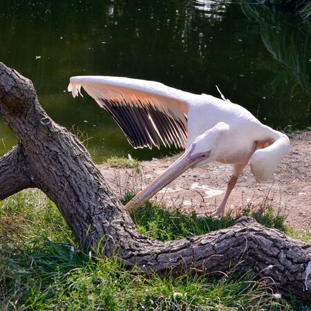 Great White Pelican (Pelecanus onocrotalus) standing on one leg by the lake Foto de archivo