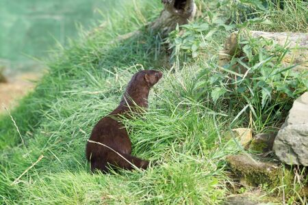 European Mink (Mustela lutreola) sitting in the sun waiting for something to happen