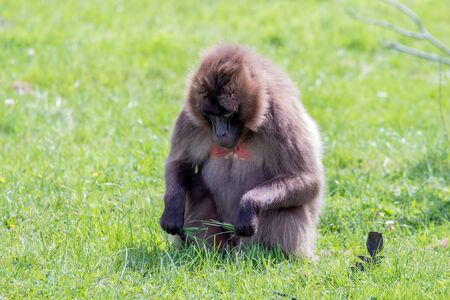 Gelada Baboon (Theropithecus gelada) sitting on the grass