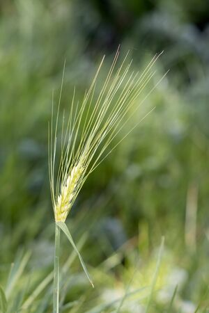Ear of immature wheat growing in a filed near East Grinstead Stock fotó