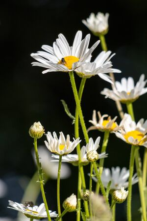 Wild Ox-Eye Daisies (Leucanthemum vulgare) flowering in the springtime sunshine