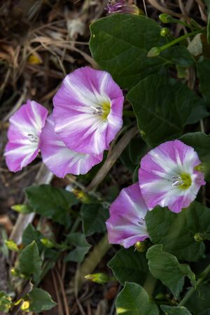 Field Bindweed ( Convolvulus arvensis ) flowering by a roadside near Ardingly