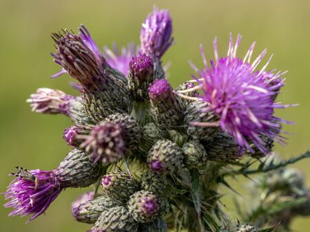Thistle Gall Fly (Urophora cardui) on a Marsh Thistle (Cirsium palustre) beginning to flower