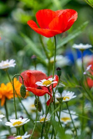 Poppies flowering in a strip of wildflowers in East Grinstead