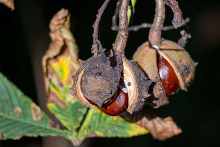 Ripe fruit of the Horse Chestnut tree commonly called conkers