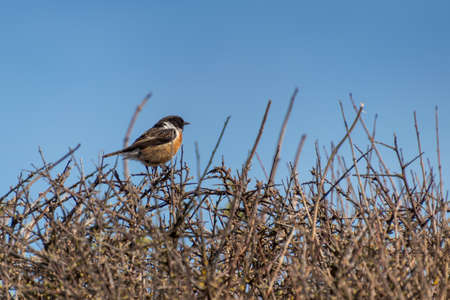 Common Stonechat (Saxicola rubicola) perched in a hedge at Hope Gap near Seaford Zdjęcie Seryjne