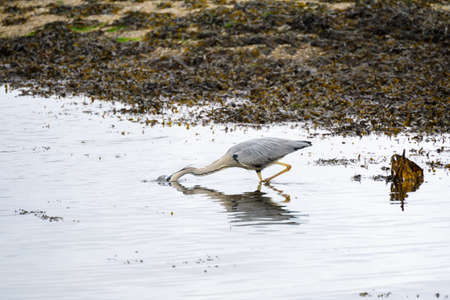 Grey Heron (Ardea cinerea) in shallow water at Restronguet Creek in Cornwall