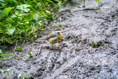 Bald headed juvenile Robin standing on a muddy path by Ellesmere Mere