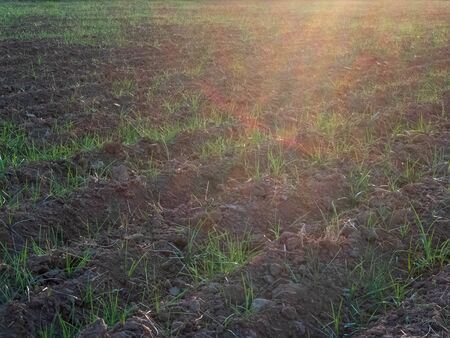 Furrows and young sprouts of wheat in the agricultural field.