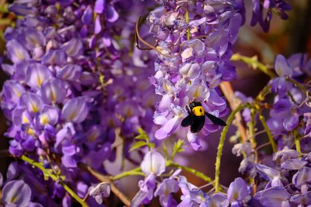 Bumblebee gathers a nectar from flowers of Wisteria sinensis or Chinese wisteria.