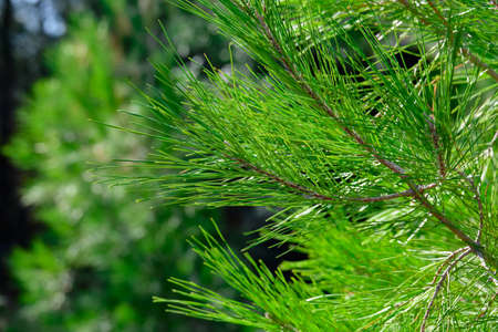 Close up of pine needles on coniferous tree branches Stock Photo