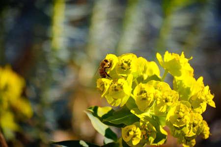 Honey bee gathering nectar from yellow euphorbia nicaeensis flowers. Selective focus