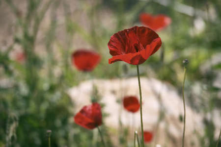 Flower of Papaver rhoeas or common poppy