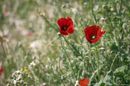 Flowers of Papaver rhoeas or common poppy