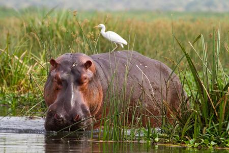 Hippopotamus (Hippopotamus amphibius) mit Kuhreiher (Bubulcus ibis) auf dem Rücken, in Schilf am Rand des Nil im Murchison Falls National Park, Uganda