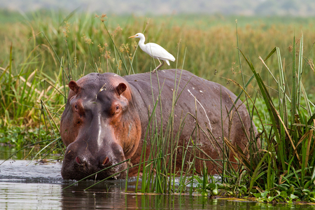 Hippopotamus (Hippopotamus amphibius) with Cattle Egret (Bubulcus ibis) on back, in reeds at edge of River Nile at Murchison Falls National Park, Uganda Фото со стока