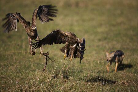 scavenge: Two Tawny Eagles (Aquila rapax) stealing away a portion of a kill from a solitary Black-backed Jackal (Canis mesomelas), Masai Mara, Kenya Stock Photo