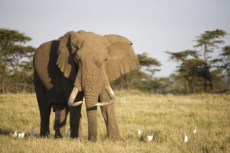 big 5: Male African Elephant (Loxodonta africana), Masai Mara, Kenya