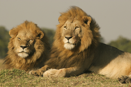 manes: Two male African Lions (Panthera leo) with full manes, low angle view, Masai Mara, Kenya Stock Photo