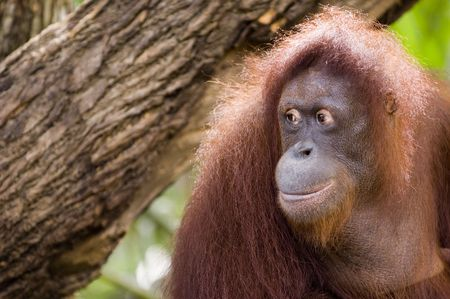 orang: Orang Utan = Man of the Forest