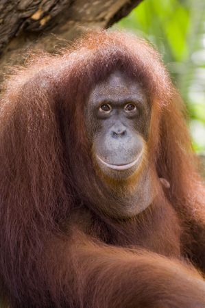 primates: A close up portrait of the king of the primates, the Orang Utan Stock Photo
