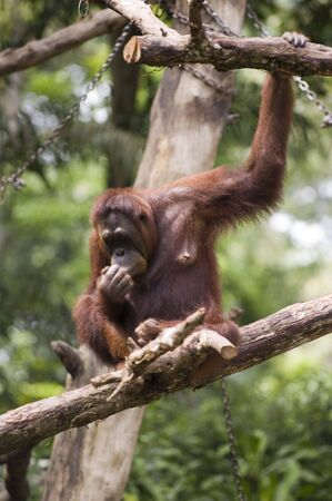primates: An orang utan in Singapore Zoo, which has the largest collection of primates in the world Stock Photo
