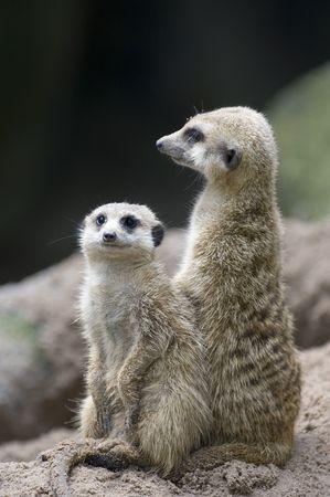 would: Due meerkats fungono da sentries che impediscono di entrare un occhio watchful per i predatori che metterebbero il burrow in pericolo Archivio Fotografico