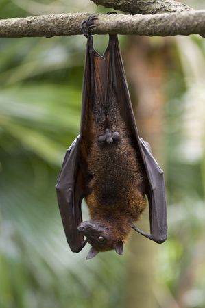 A flying fox hangs upside down from a branch photo