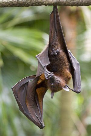 pteropus: A fruit bat bites its toe nails Stock Photo