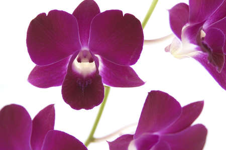 purple orchids on a white background photo
