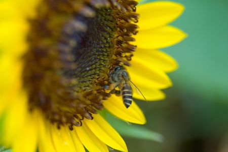 A bee buzzes around a large sunflower photo