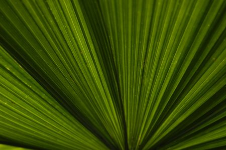striking: The striking lines of a banana palm leaf shot against the sun